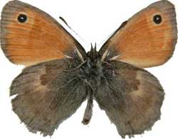Coenonympha pamphilus - rub