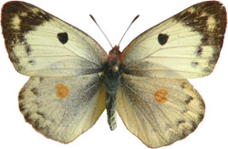 Colias hyale / alfacariensis - samice